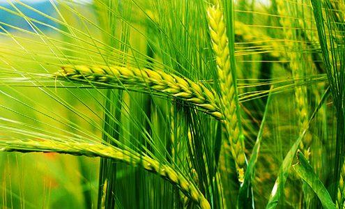 گندم و انواع آن